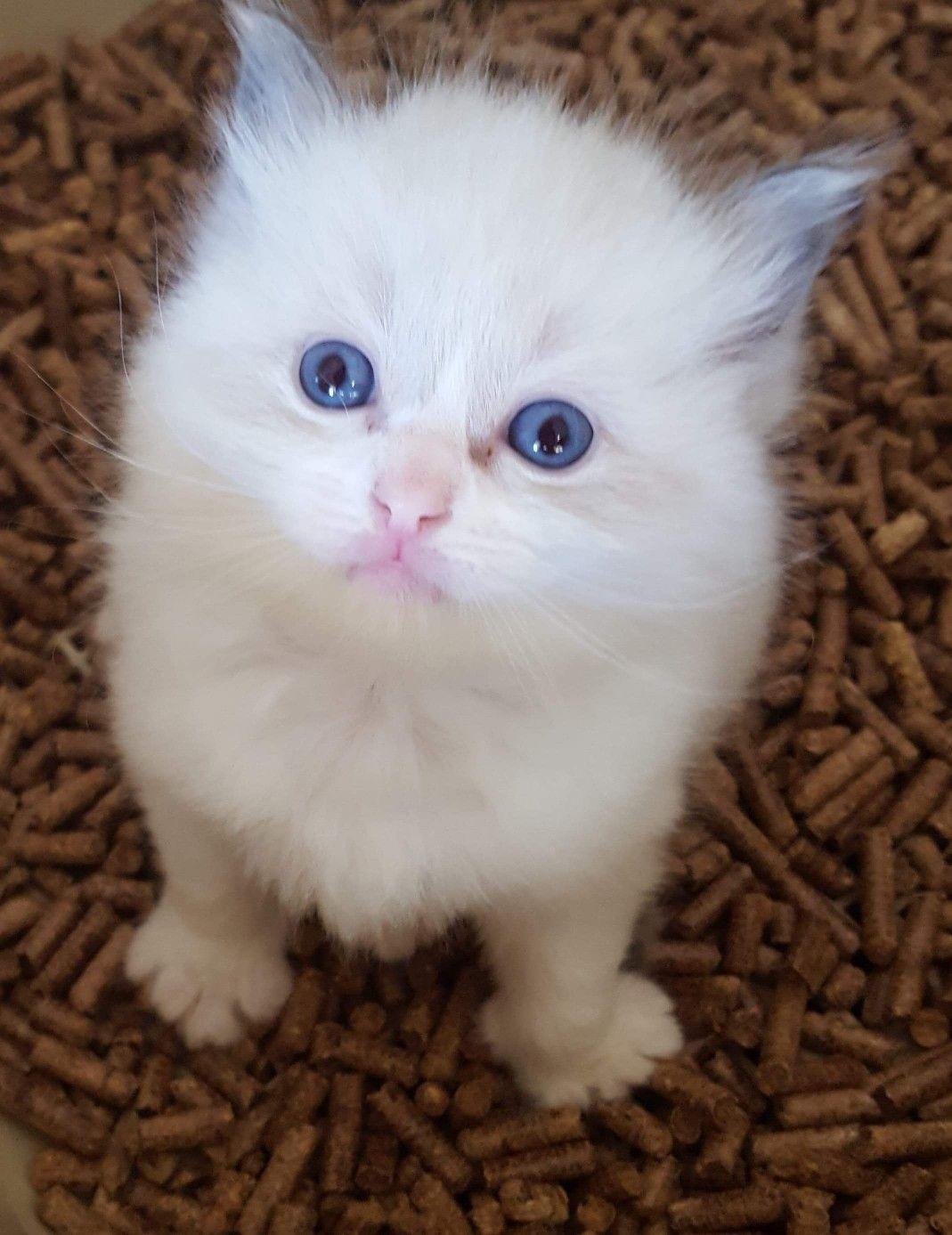 Pin By Matty Budesa On Ragdoll Cats And Kittens Cute Cats Cute Cats And Kittens Puppies And Kitties