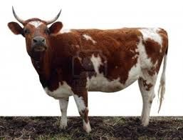 Ayrshire Google Search Cattle Ranching Female Cow Raising Cattle