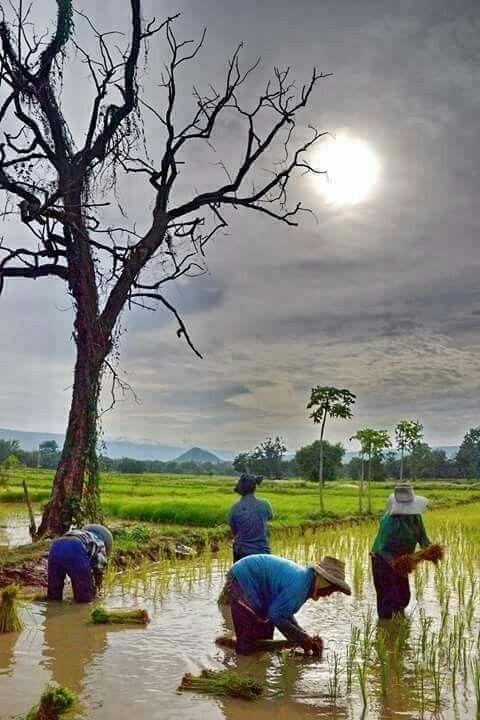 ว ถ ช ว ต ของชาวนาไทย ทะเลสาป การถ ายภาพธรรมชาต การวาดภาพท วท ศน