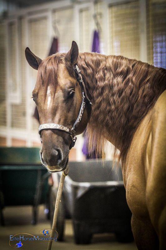 Chics Revolution  (Einsteins Revolution x Smart Chicody Sue)  2011 Red Dun AQHA Stallion