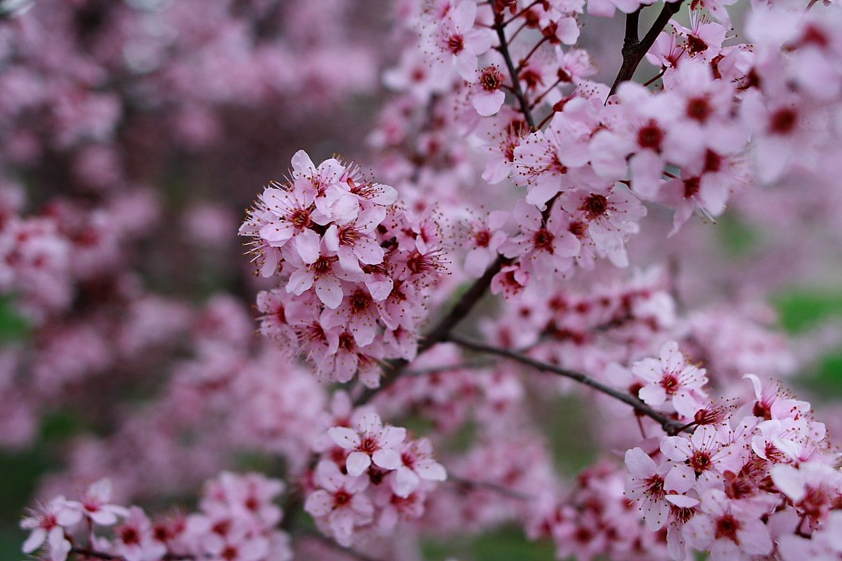 Pin By Sylvia Bodiford On Garden Backyard Plum Flowers Cherry Blossom Flowers Plum Tree