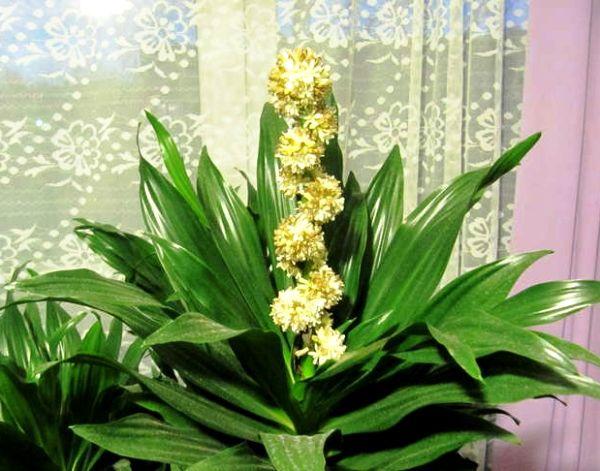 Комнатный цветок драцена душистая фото