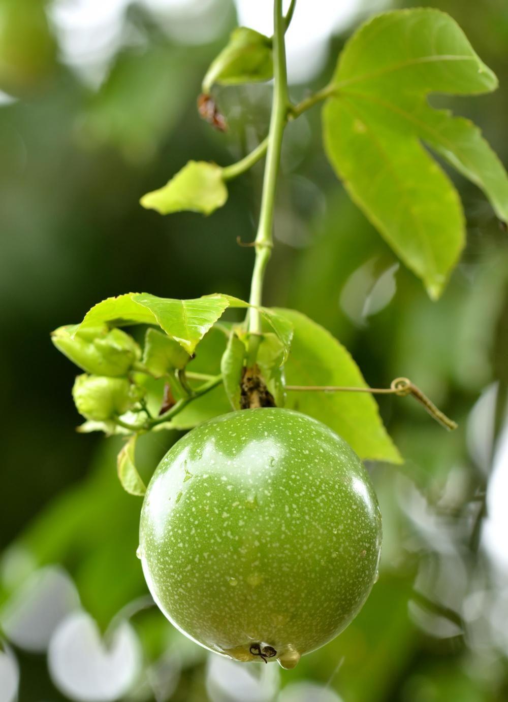 How to prune fruit trees edible fruit gardening fruit
