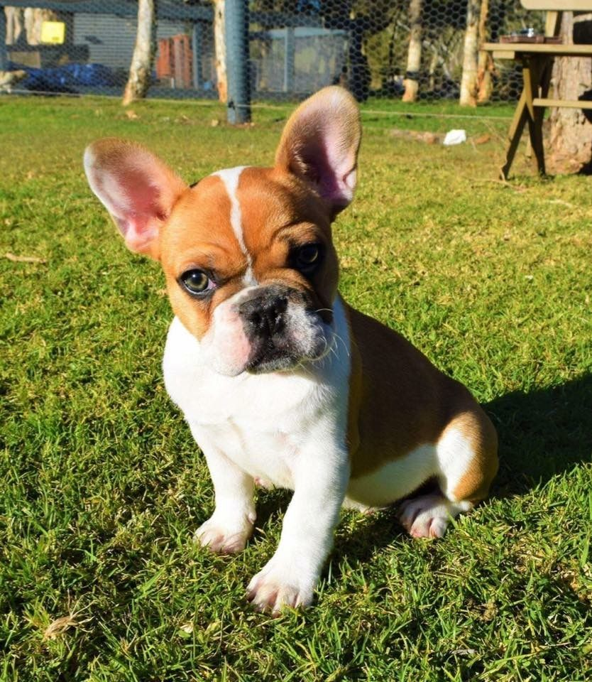handsome red fawn french bulldog 14weeks old | french