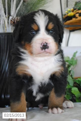 Willie - Bernese Mountain Dog Puppy for Sale in Gap, PA - Bernese Mountain Dog - Puppy for Sale