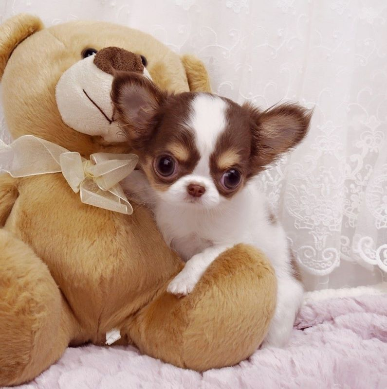 The 25+ best Teacup chiwawa ideas on Pinterest | Teacup ...
