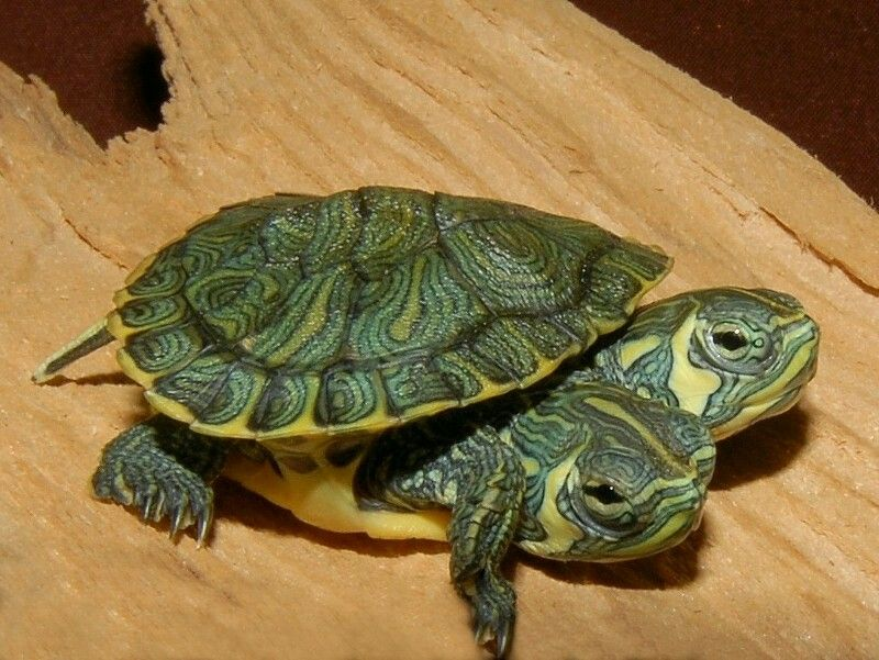Two Headed Yellow Bellied Slider For Sale From The Turtle Source Turtle Pet Store Animals