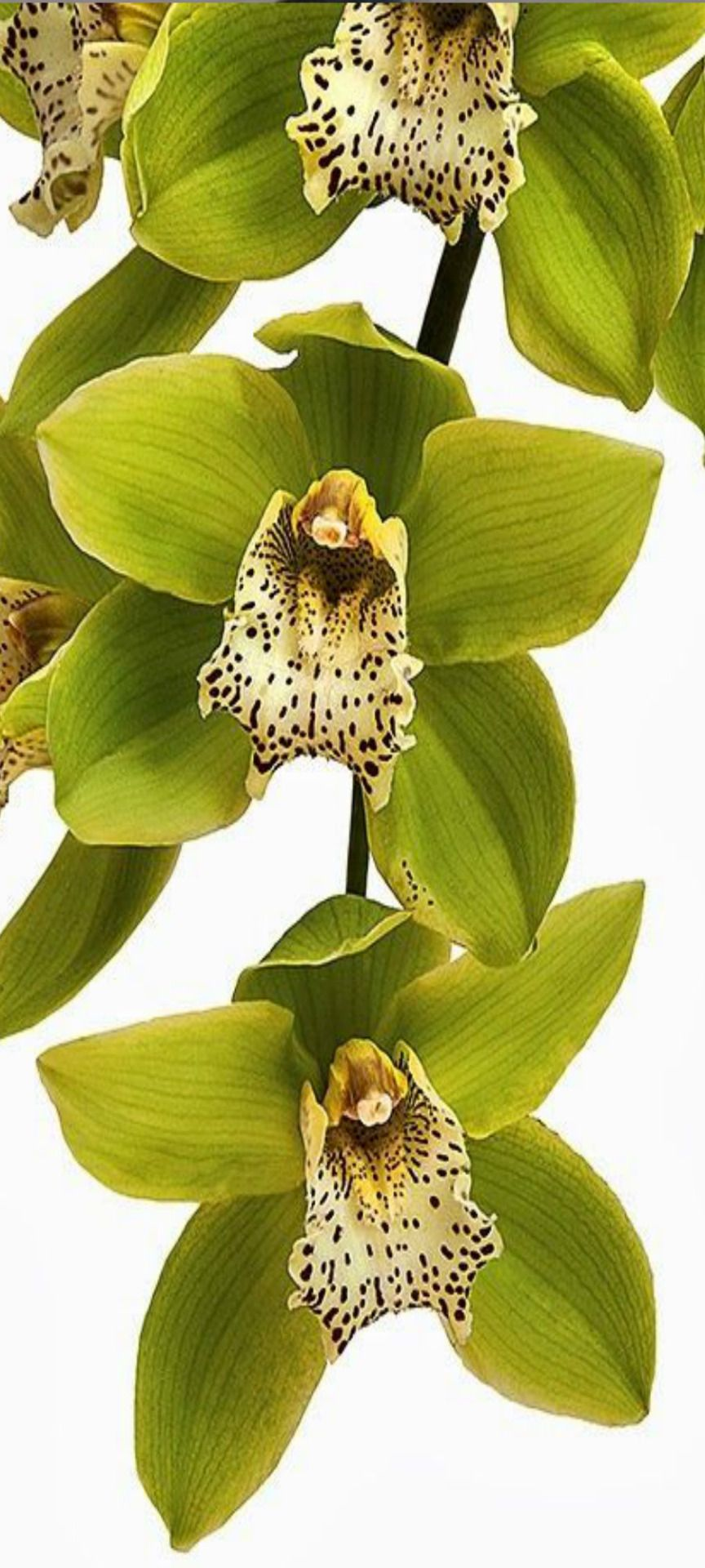 Pin by Оксана Ошэр on orchids pinterest orchid flowers and flower