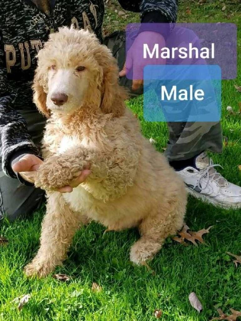 Marshal Male Standard Poodle 690 Standard Poodle Poodle Puppy Standard Poodle Puppies For Sale