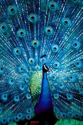 What wondrous variety we have in our world. And to think, the peacock is not a…