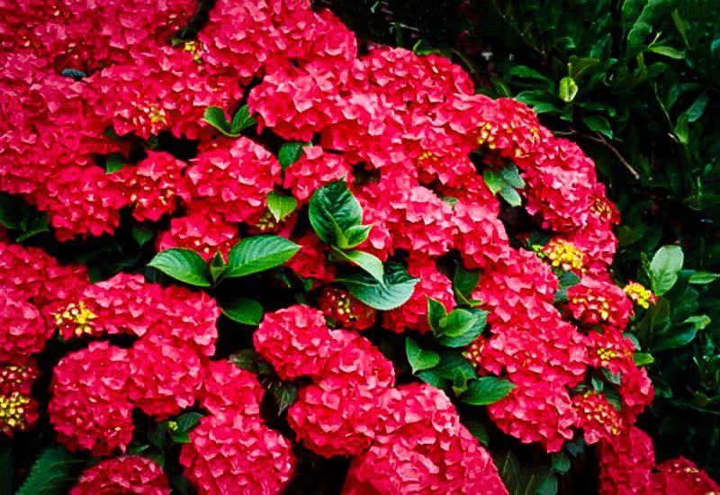 Cardinal Red Hydrangea Flower Garden Plants Shade Tolerant Plants Planting Hydrangeas