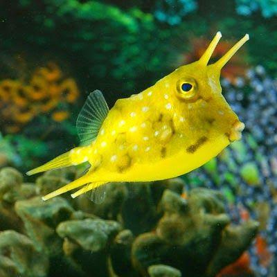 The Longhorn Cowfish Saltwater Fish Tanks Cow Fish Saltwater Aquarium Fish
