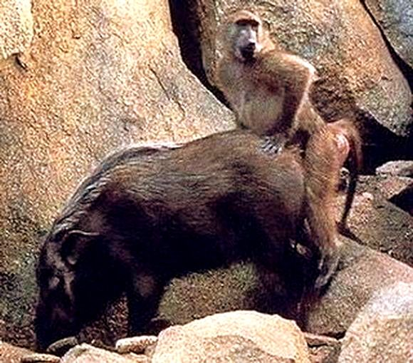 monkey sex videos Steep cliffs,  scorching summers and very, very cold winters all take their toll.