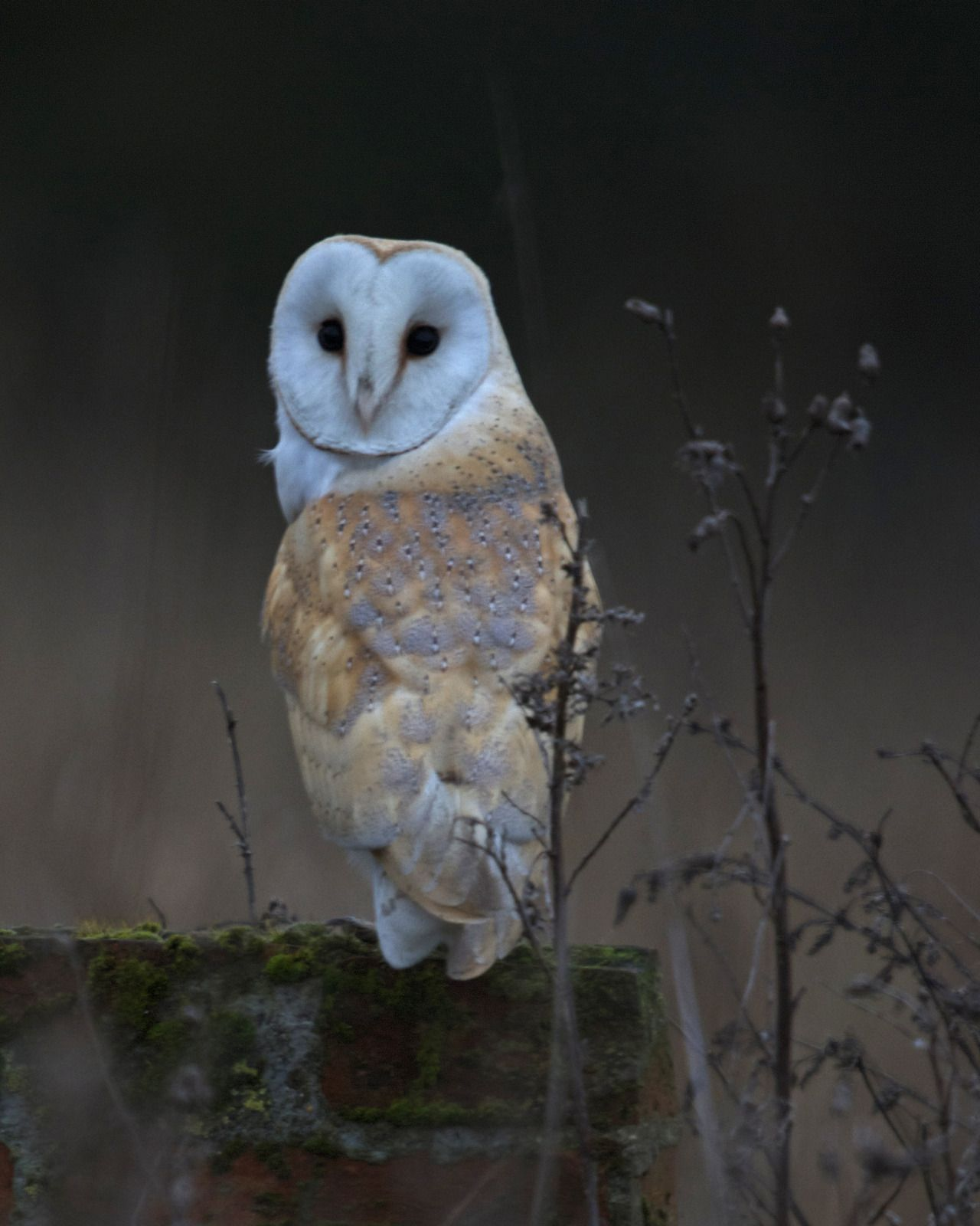 Barn owls can be recognized by their heart shaped face.