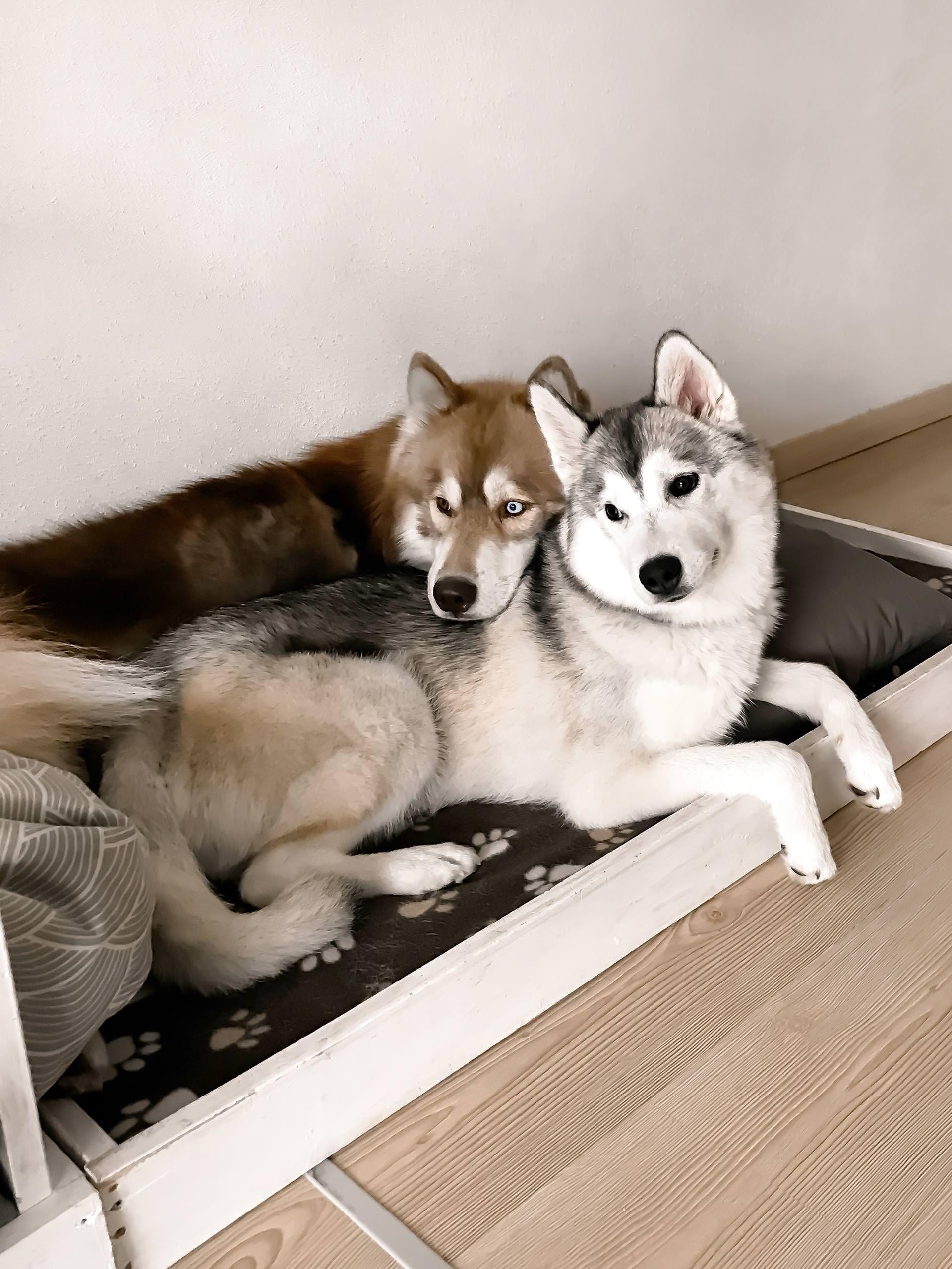 Unser Alltag Und Leben Mit Hund Und Welpe Sibirischer Husky Bgh1