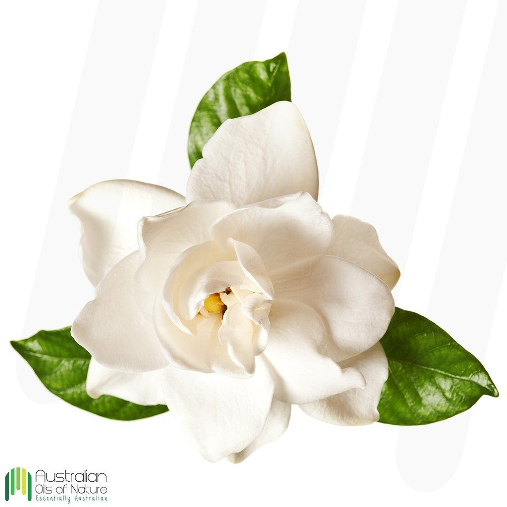 Gardenia creating gardenia absolute oil has a long history in gardenia creating gardenia absolute oil has a long history in ancient chinese herbal medicine its flower petals were used to calm irritability mightylinksfo