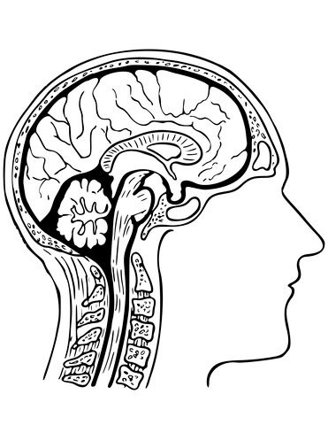 Human Brain Coloring Page From Anatomy Category Select From 27538