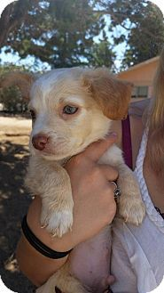 Victorville Ca Maltese Chihuahua Mix Meet Dylan A Puppy For Adoption Http Www Adoptapet Com Pet 16500510 Victorville C Puppy Adoption Pets Pet Adoption