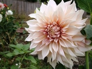 Common Name Dinnerplate Dahlia \ Cafe au Lait\  Bulb Sub-Section Dinner & Common Name: Dinnerplate Dahlia \