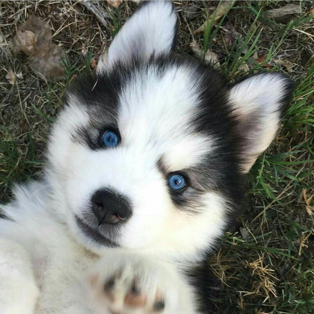 Siberian Husky Lovers Thehuskiez Instagram Posts Videos