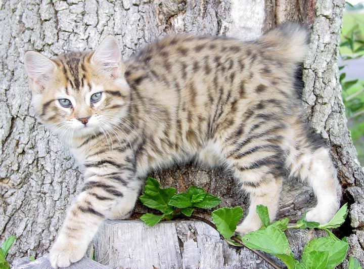 American bobtail cat kittens for sale