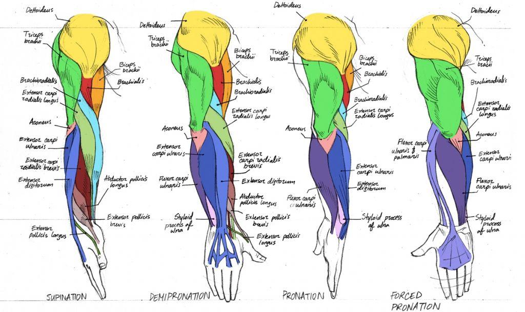 Anatomy Arm Muscles Human Anatomy Muscles Arm Anatomy Human Body ...