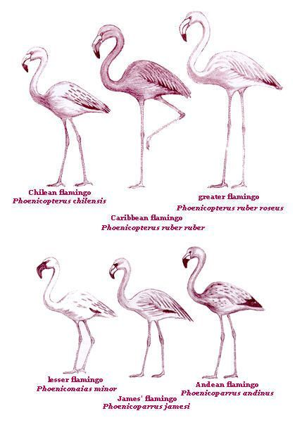 kinds of flamingos