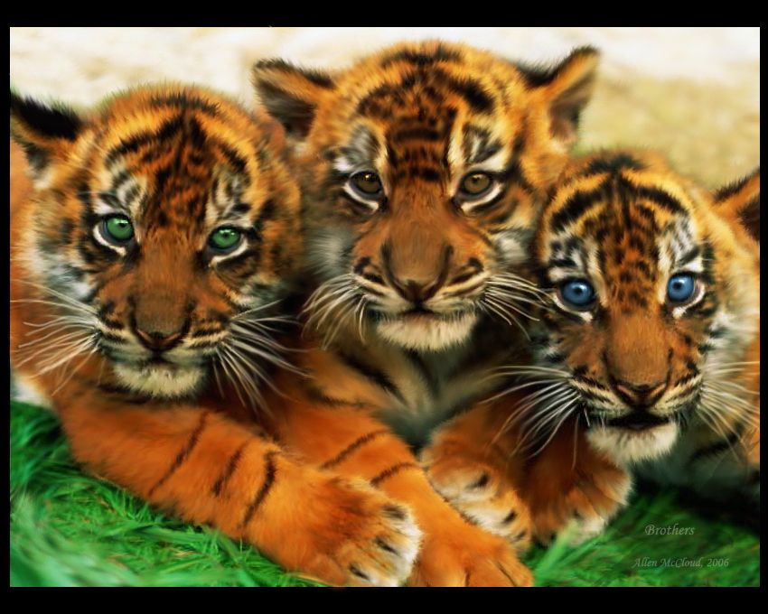 Tigers - Brothers by DarkSilverflame.deviantart.com