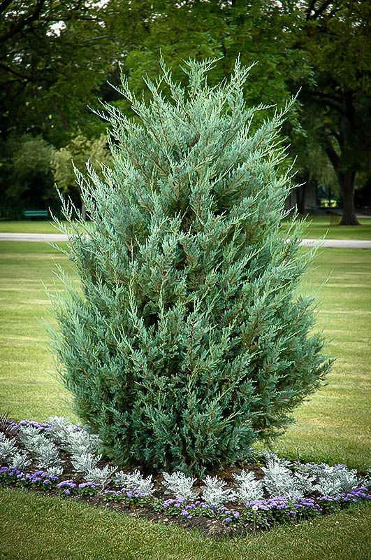 moonglow juniper yard ideas