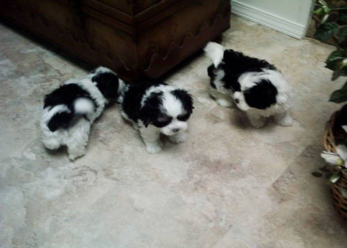 Beautiful Black And White Shih Tzu Maltese Puppies Malshi
