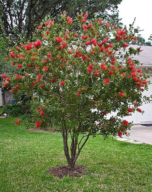 Bottle Brush Hummingbirds Love These Bright Red Flowers Can Be Pruned Into A Hedge Or Small Trees There Are Columnar Shaped