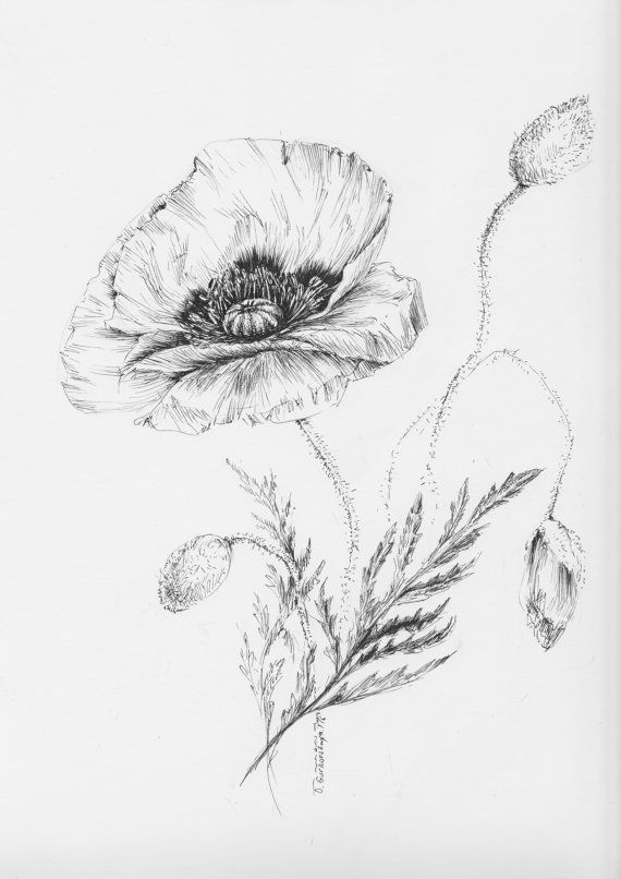 poppy drawing botanical prints floral illustrations pen