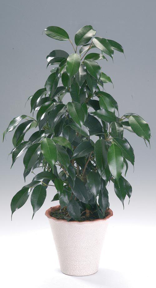 Ficus Benjamina Moraceae M Cs 252 Ngő 225 G 250 Fikusz Dk 193 Zsia