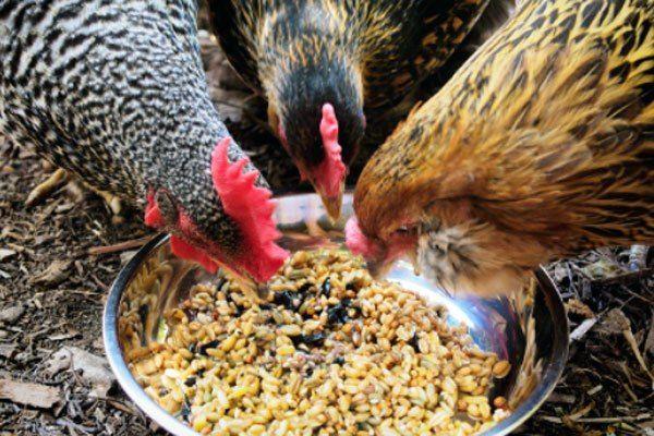 Inilah Jenis Makanan Tambahan Agar Ayam Aduan Jadi Super Birds