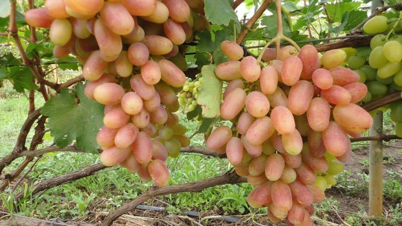 Интересный способ выращивания крупноплодного винограда ...