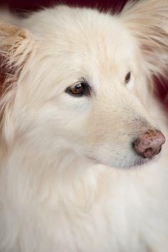 Samoyed Golden Retriever Mix Dogs Golden Retriever Retriever Mix