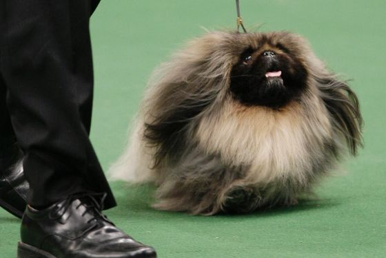 Westminster S Best In Show Is Malachy The Pekingese