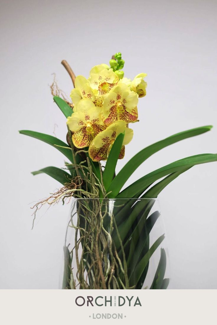 Fantastic Yellow Orchid The Colour Of Kindness And Peace It Will Definitely Brighten Up Your Day Myfloristorchidya Bloom Orchid Plants British Flowers Orchids