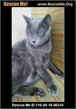 New York Russian Blue Rescue Adoptions Rescueme Org Russian Blue Russian Blue Cat Post Animal