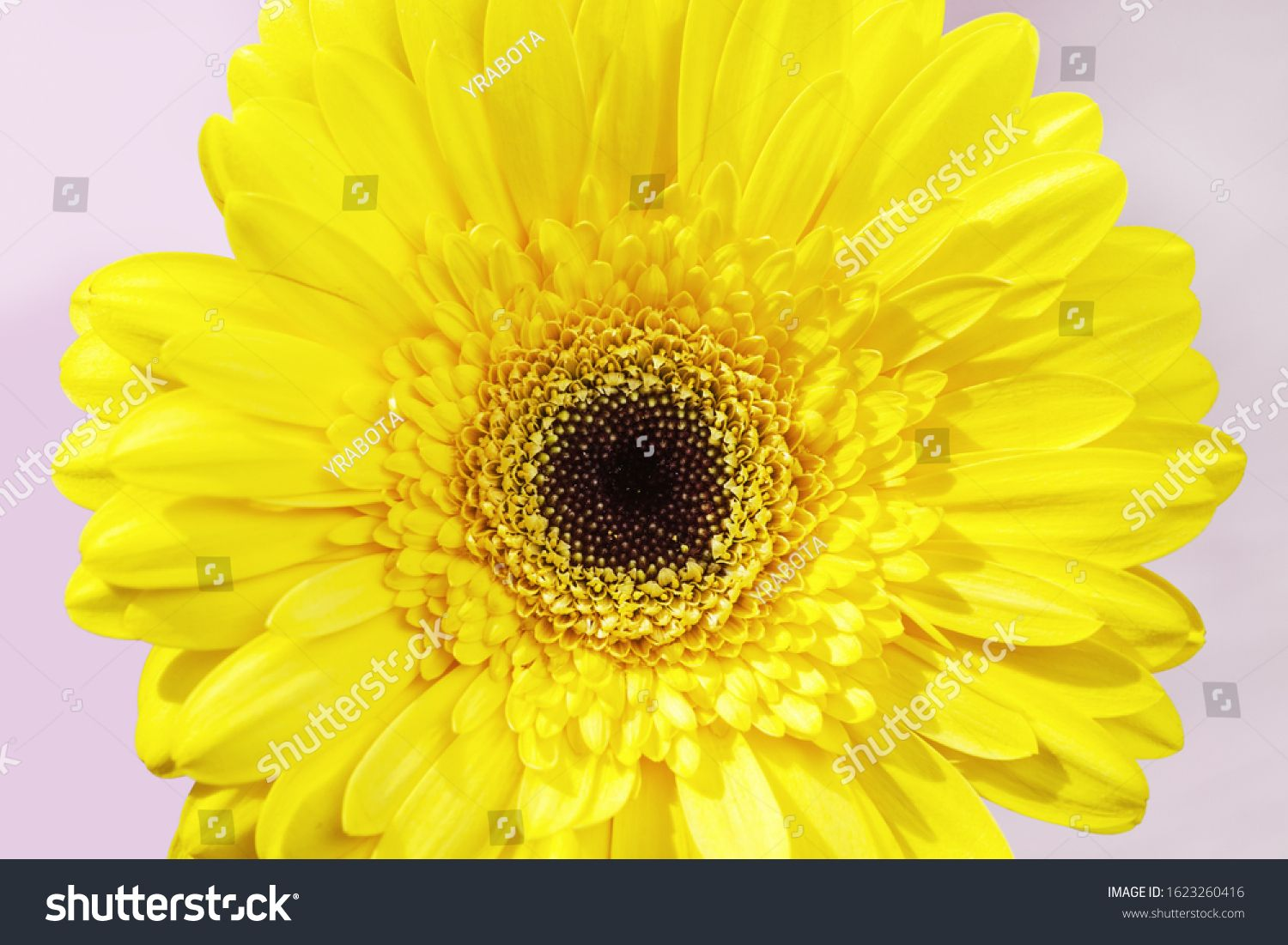 Close Up Bud Gerbera Natural Flower With Yellow Colored Petals Macro Of Blossom Flower Beauty Of Nature Ad Sponsored Na Gerbera Blossom Flower Flowers