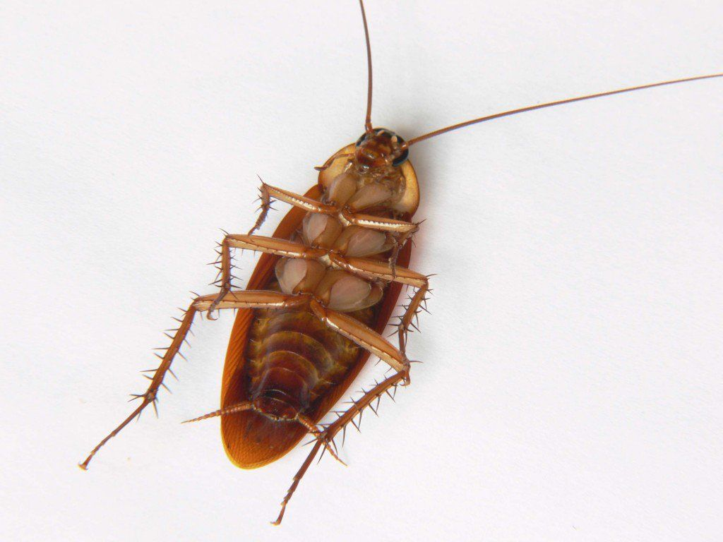 How to Get Rid of Roaches | Cockroaches, Get rid of ...