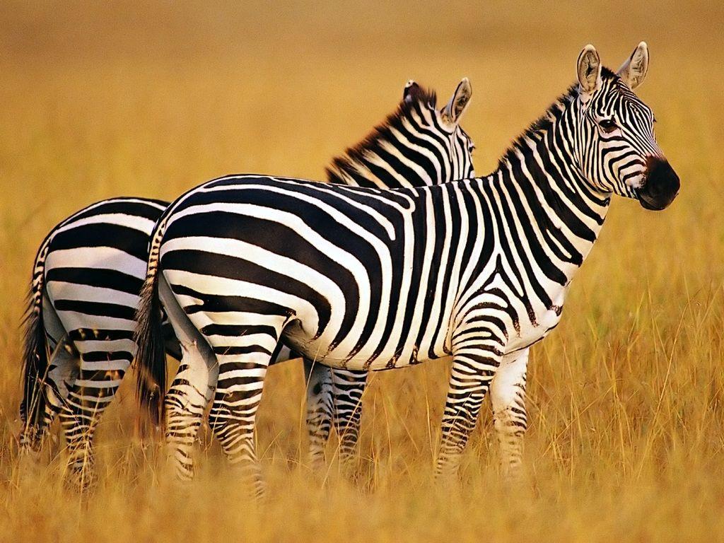 The Mystery Of The Zebra's Stripes Youngzine Zebra
