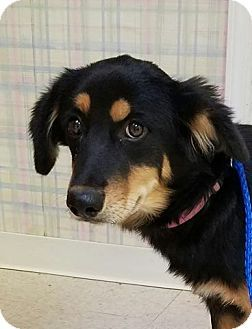 Denver Co Australian Shepherd Border Collie Mix Meet Marnie A Puppy For Adoption Http Www Adoptapet Com Pet 171 Australian Shepherd Pets Puppy Adoption