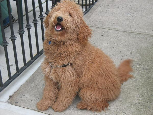Double Doodle Dogs Info Temperament Training Puppies Pictures