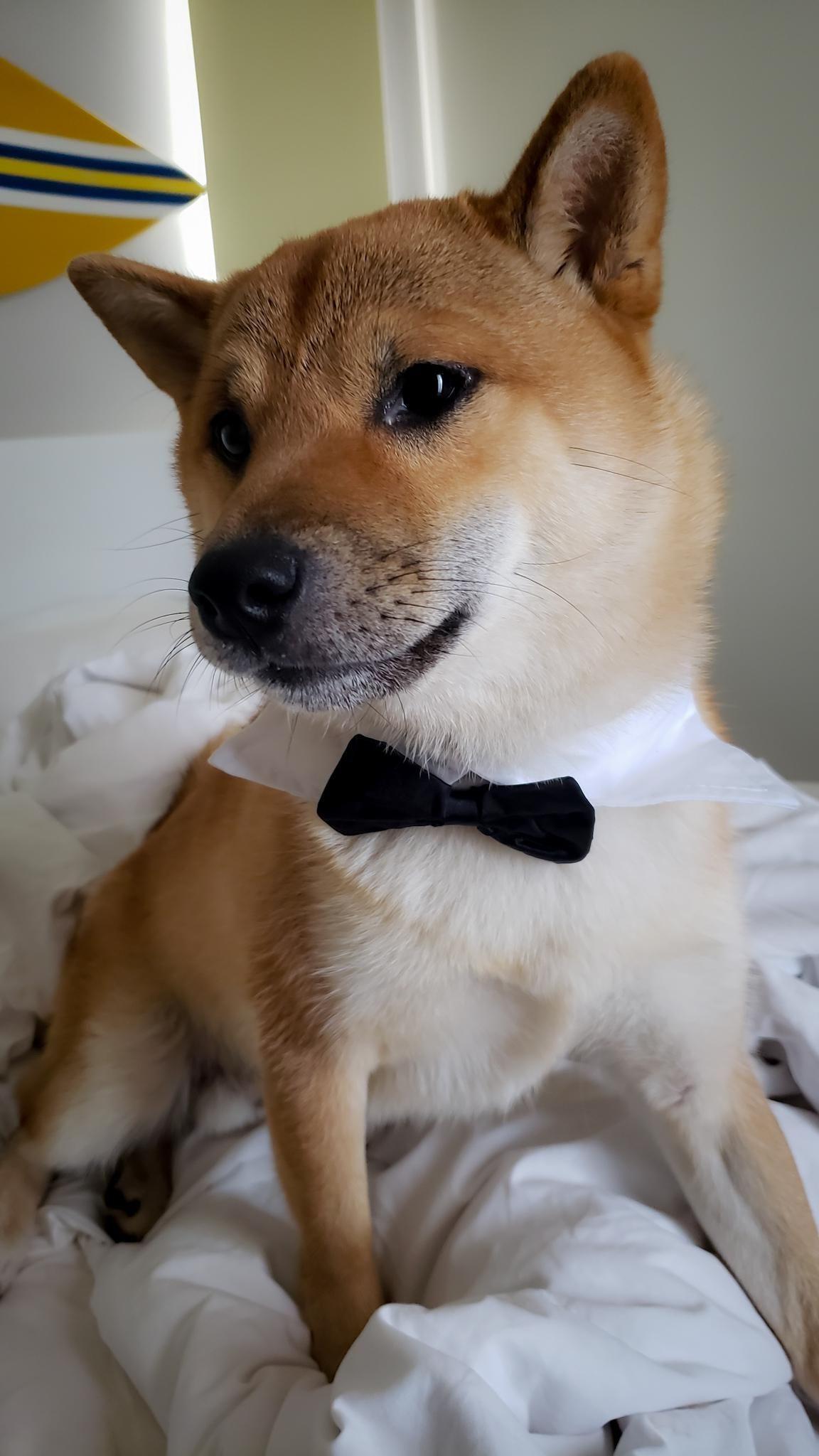 Wedding Time Shibainu Shibainupuppies Shiba Inu Dogs And