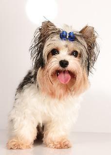 Biewer Yorkshire Terrier Deckrüde sucht netten Damenbesuch