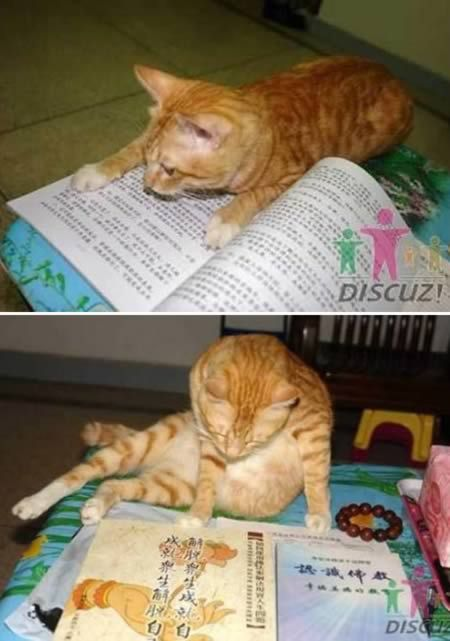 I want a reading cat too