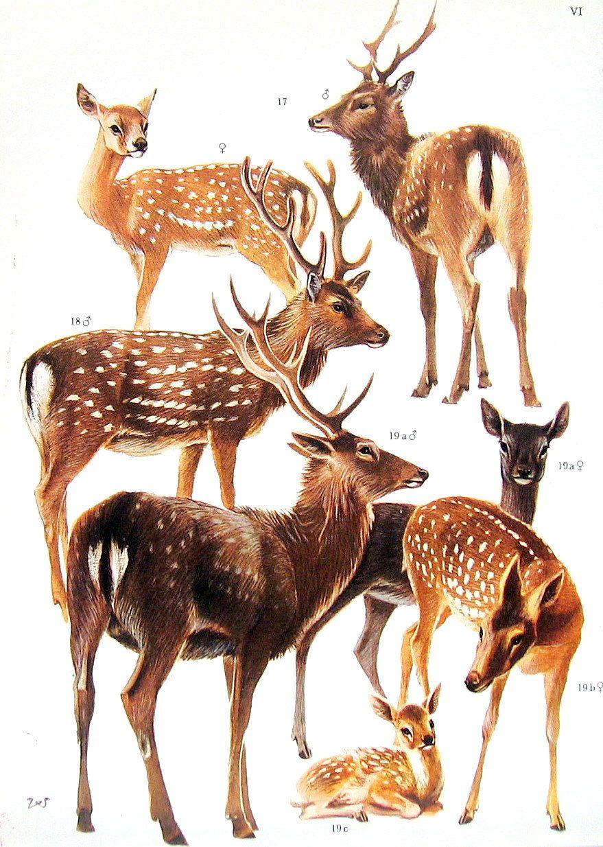 True Deer 1972 Vintage Encyclopedia Print Book Plate P5 | Frankly My ...
