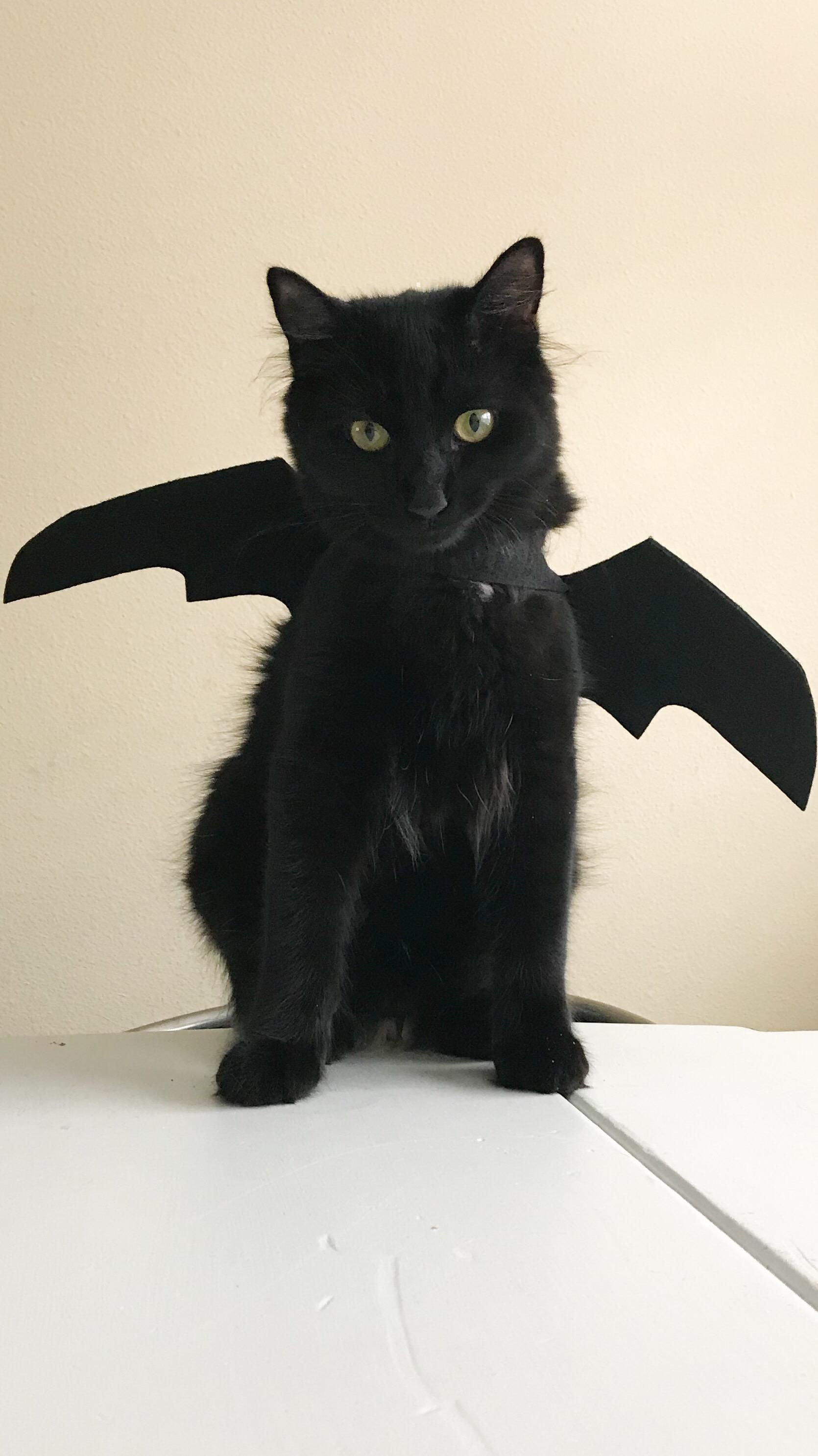 Can You Tell That Ollivander Is Super Psyched About His Halloween Costume Https Ift Tt 2r8nwvh Cats Crazy Cats Cute Cat Gif
