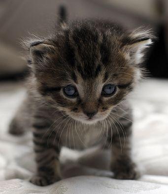 Black Tiger Stripe Tabby Tiger Striped Kittens For Sale Baby